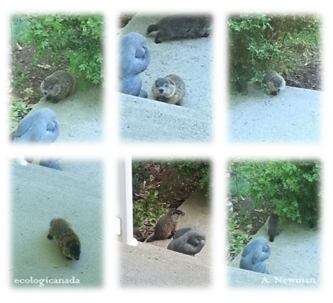 Baby Groundhogs 1